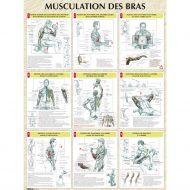 Musculation du bras