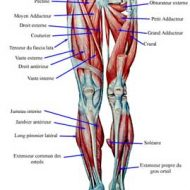 Musculation muscles