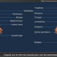 Musculation par muscle