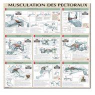 Musculation pectoraux rapide