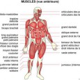 Natation muscles