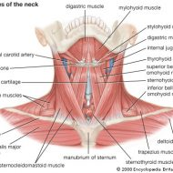 Neck muscles anatomy
