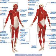 Nom des muscles du corps humain