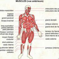 Nombre de muscle dans le corps humain