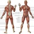 Photo muscle corps humain