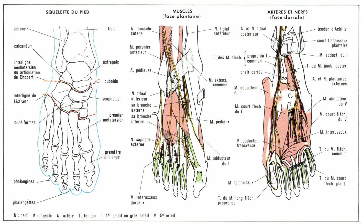 pied muscles et tendons
