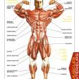 Planche anatomique des muscles