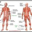 Planche anatomique des muscles du corps humain