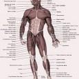Planche anatomique muscle