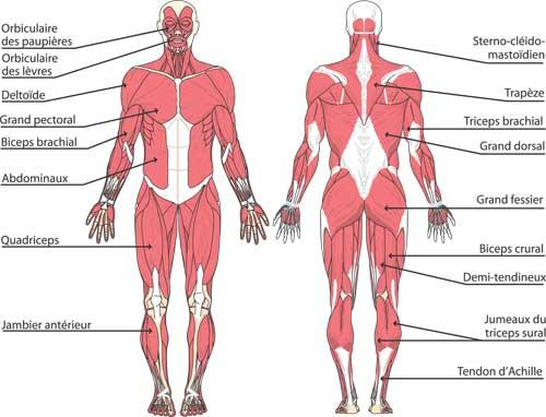 planches anatomiques muscles