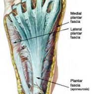 Plantar fascia muscle