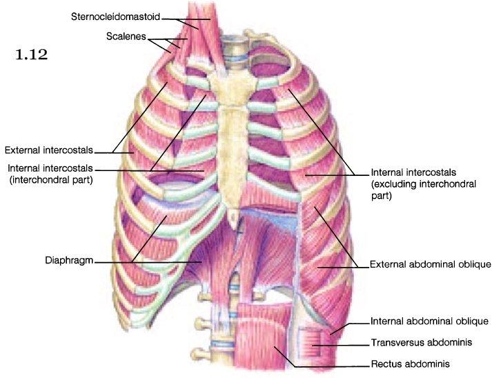 rib muscles