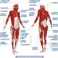 Schéma des muscles du corps humain