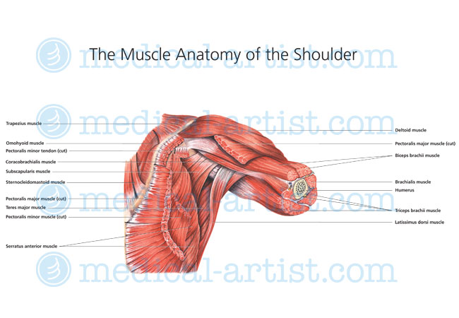 shoulder muscle anatomy