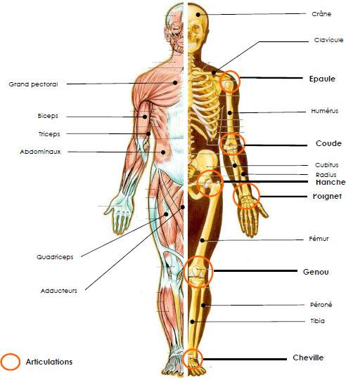 squelette avec muscles
