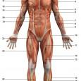 Squelette et muscles humain