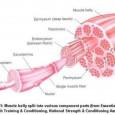 Structure du muscle