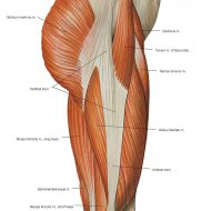 Thigh muscles anatomy