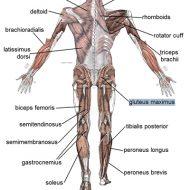 Tout les muscle du corp humain
