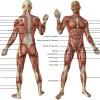 Tout les muscles du corps humain