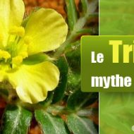 Tribulus terrestris musculation