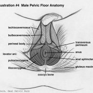 Vaginal muscle