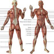 Les muscles du corps humain image