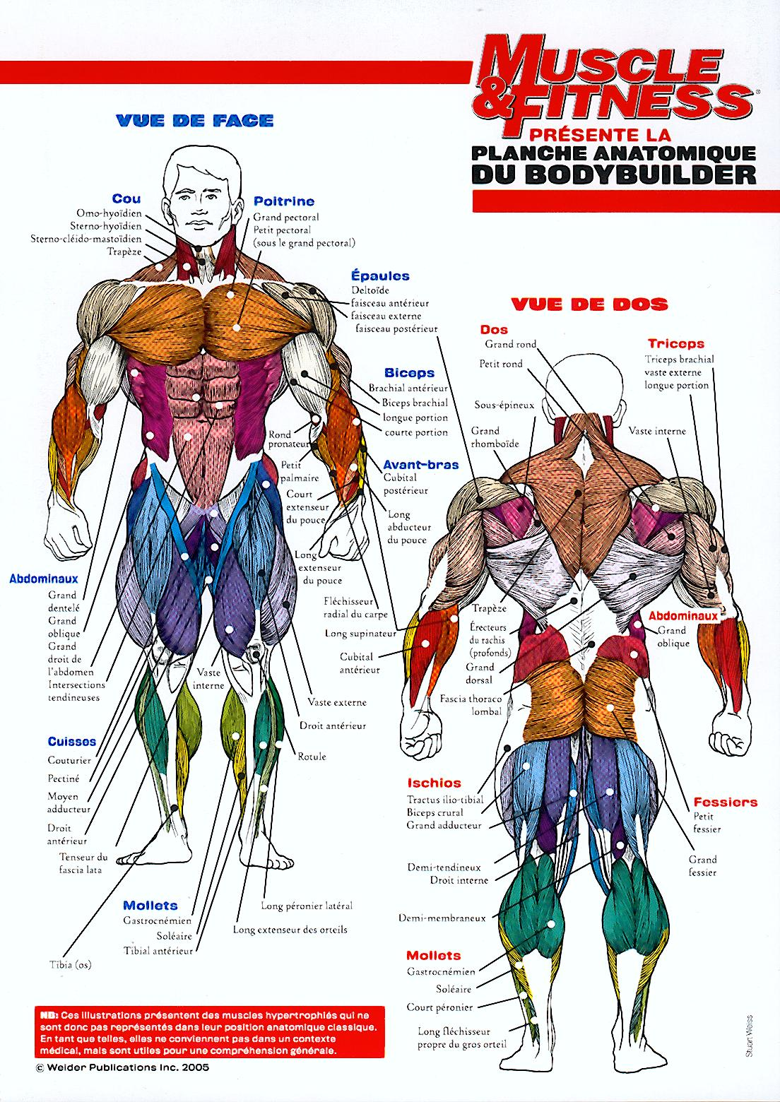 muscle du corp humain schéma