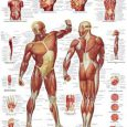 Planche anatomique muscles corps humain