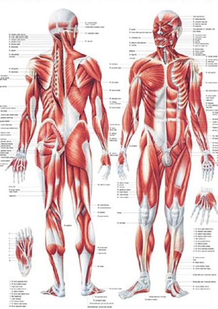 planche anatomique musculaire