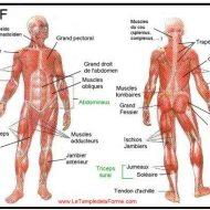 Planche des muscles du corps humain