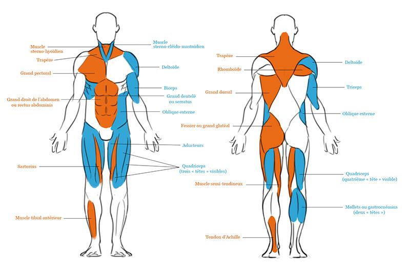 schéma corps humain muscles