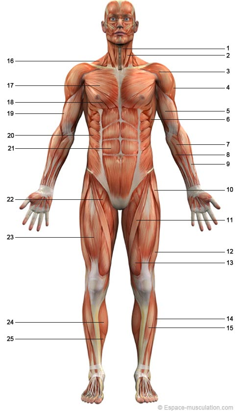 schéma musculaire corps humain