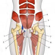 Hernie inguinale musculation abdominaux