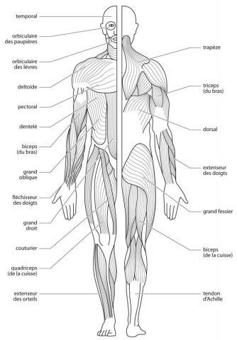 schéma muscle corps humain