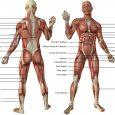 Tout les muscles du corps